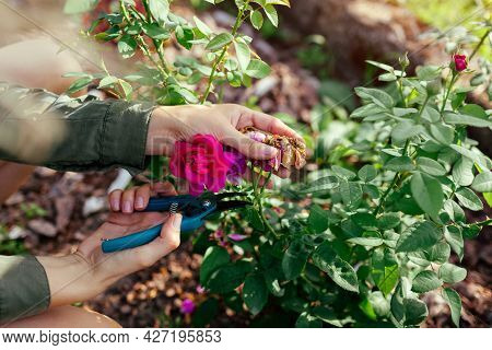 Woman Deadheading Dry Spent English Rose Hips In Summer Garden. Gardener Cutting Wilted Flowers Off