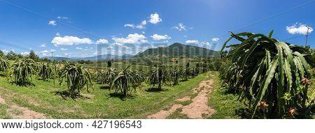 Panorama Garden Dragon. Dragon Fruit On Plant, Raw Pitaya Fruit On Tree, A Pitaya Or Pitahaya Is The