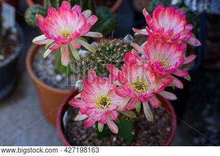 View Of Beautiful Pink Lobivia Bit Cactus Flowers In Flower Pot