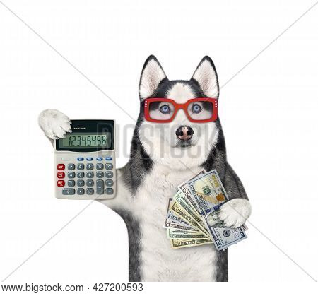 A Dog Husky Businessman In Glasses Is Holding A Calculator And A Fan Of Dollars. White Background. I