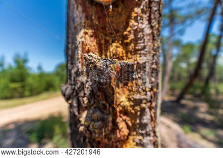Getting Resin Out Of The Pine Tree, Closeup View