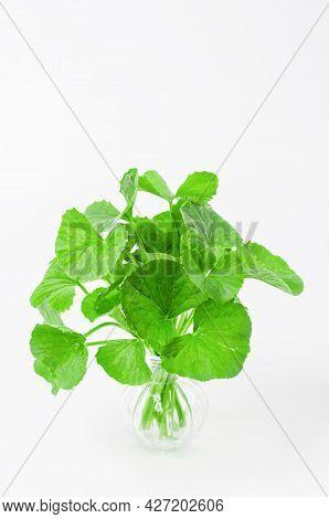 Group Of Gotu Kola (centella Asiatica) Leaves On White Background. (asiatic Pennywort, Indian Pennyw