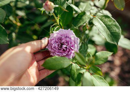 Lavender Purple Rose Novalis Blooms In Summer Garden. Gardener Enjoys Flower Holding Blossom. Kordes