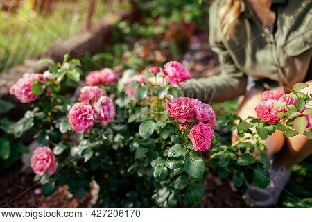 Leonardo Da Vinci Pink Rose Blooming In Summer Garden. Gardener Woman Enjoys Blossom. Meilland Selec