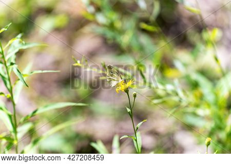 A White Butterfly With Folded Wings Landed On A Yellow Flower In A Meadow