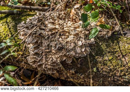 Fungus Growing On A Fallen Tree Log Also Known As Turkey Tail Because Of The Colorful Pattern And Sh