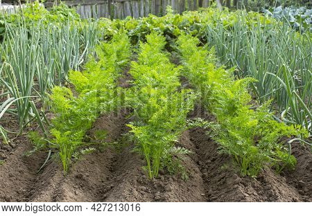 Onions And Carrots Growing On Garden Beds In Vegetable Garden In Summer Day. Onions And Carrot Plant