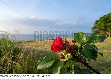 A Red Rose In The Sunset With The Baltic Sea In The Background. Picture From The Swedish Island Olan