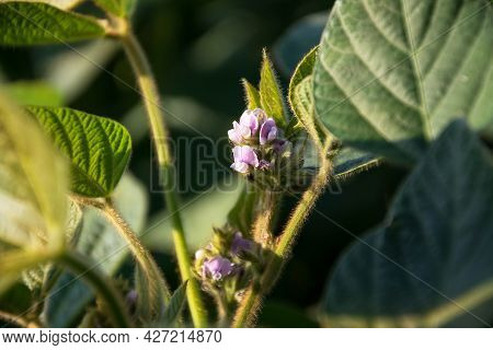 Blooming Soybean Plant With  Flowers On A Soybean Agricultural Field. Soy In The Period Of Active Gr