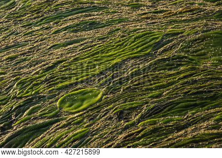 Green Swampy Abstract Texture. View Of Algae And Swamp Close Up. Abstract Diagonal Background.