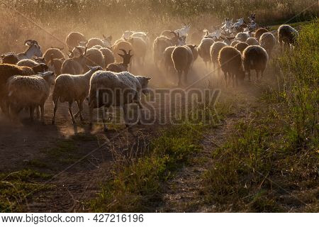 A Flock Of Sheep And Goats Walking Along A Dusty Road.