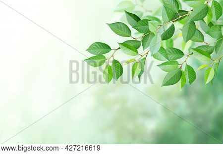 Cherry tree branch with green leaves on blurred sunny background. Mock up template. Horizontal nature summer banner with copy space for text