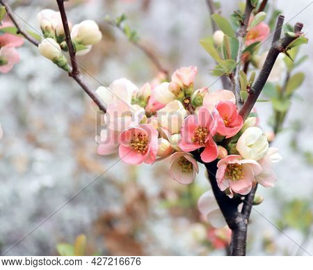 Square banner with Japanese Quince flowers (Chaenomeles japonica) of pink color on sunny backdrop. Beautiful nature spring background with a branch of blooming Quince. Copy space for text