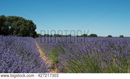 Beautiful Lavender Fields During Blooming At Brihuega. Guadalajara, Spain. No People, Sunny Day. Eur