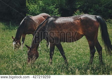 Beautiful Horses Grazing In The Meadow. Summer Meadow In A Sunny Day.