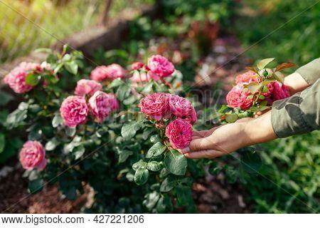 Leonardo Da Vinci Hot Pink Rose Blooming In Summer Garden. Gardener Enjoys Blossom. Meilland Selecti