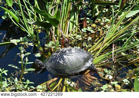 Turtle In The Florida Swamp Grass Getting Sun