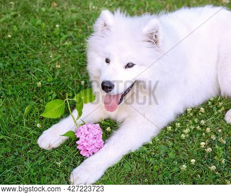 A Samoyed Pomeranian Dog With A Pink Hydrangea Flower Lies On The Lawn. Pets Concept