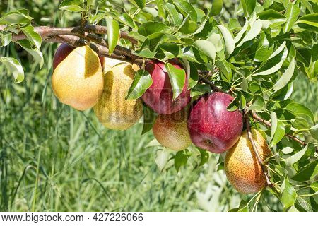Duo Fruit  Tree Apple And Pear Branches Heavily Leaning Due To The Weight Of The Of Ripe Fruits