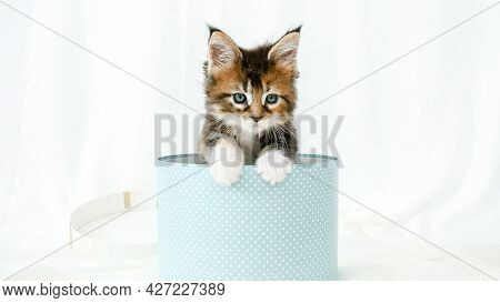 Striped Grey Kitten In A Present Blue Box Happy Birthday Gift Surprise. Cat Hiding In Box. Kitten Ju