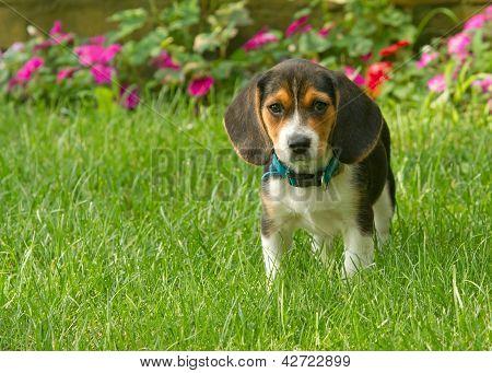 Close up of a Beagle Pup