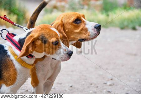 A Cute Little Puppy Beagle With Her Mom Outdoors. Beagle Dogs On A Sunny Summer Day