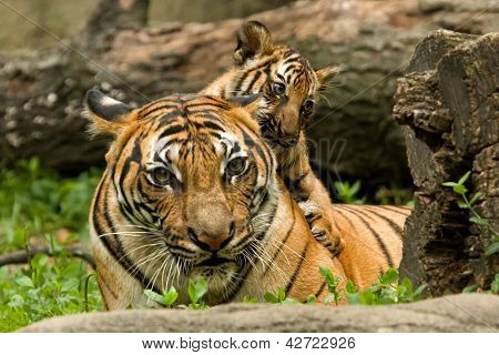 Mother and Tiger Cub