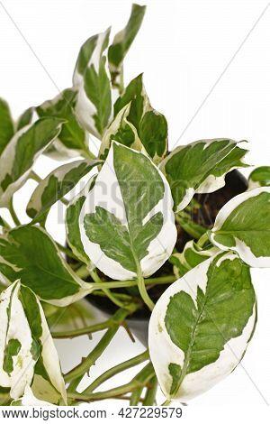 Close Up Of Tropical Houseplant With Botanic Name 'epipremnum Aureum N'joy'  With White And Green Va