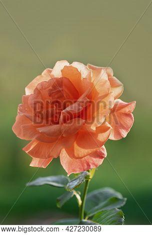 Beautiful Blooming Orange Rose In The Summer Garden. Floribunda Rose Easy Does It. Close-up. Vertica