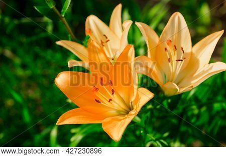 Beautiful Lily Flower On Green Leaves Background. Lilium Longiflorum Flowers In The Garden. Backgrou