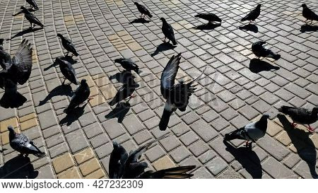 Flock Of Birds Feed And Peck Food At City Street Pavement. Grey Pigeons Crowding And Pushing Each Ot