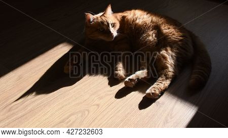 Red Tabby Cat On Wooden Floor In Bright Sunlight With Dark Shadows. Furry Ginger Cat Raising Head An