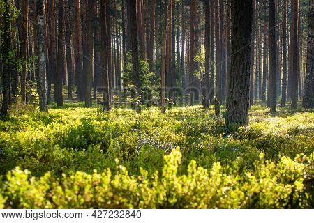 Summer Landscape. The Scenery Of A Misty Forest. Early Morning In The Woodland. Dark Shadows Of Tree