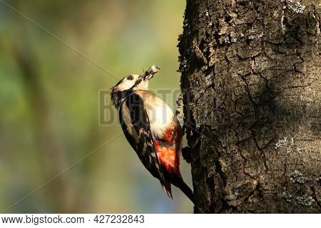 Forest Landscape. Colorful Woodpecker On The Trunk Of The Tree. Grub In The Beak Of Woodpecker. Bird
