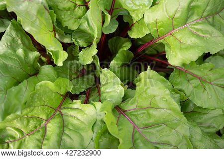 Young Green Beet Leaves. Beets Are Growing On A Bed. Closeup Leaves Of Beet. Agricultural Background