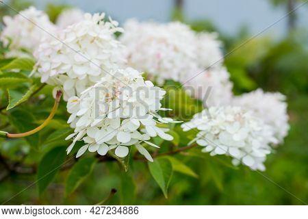 Hydrangea Arborescens Annabelle White Balls Summer Flowers. Flower In Garden. Hydrangea Macrophylla