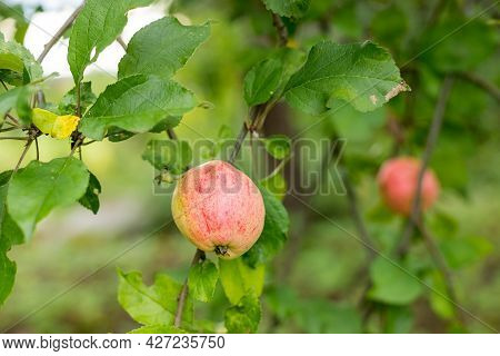 Fresh Juicy Fruits Ripening On Apple Tree Branch. Organic Fruits In Home Garden.green Apples With Pi