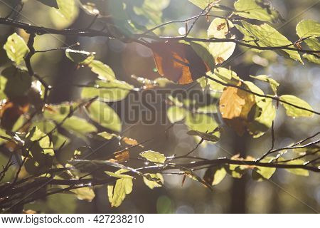 Some Leaves In A Branch In A Backlight Picture