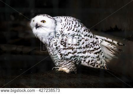 The Snowy Owl (bubo Scandiacus) Sits On Dark Rocks. Rare And Beautiful White Polar Owl Against A Dar