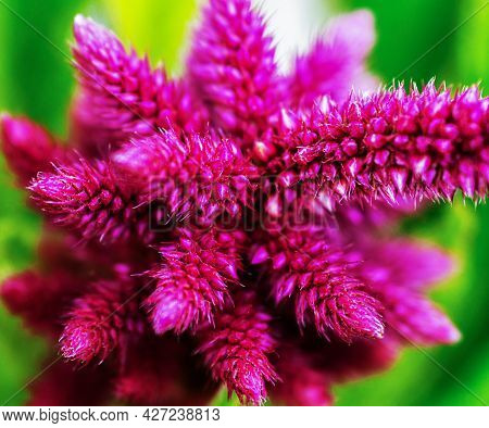 The Head Of A Purple Flower-dried Flower, Abstraction,