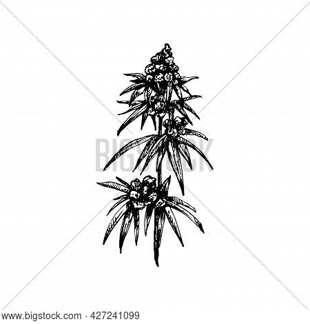 Marijuana Mature Plant With Leaves And Buds. Vintage Vector Hatching Black Hand Drawn Illustration I