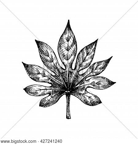Fresh Fatsia Japonica Leaf. Vintage Vector Hatching Black Hand Drawn Illustration Isolated On White