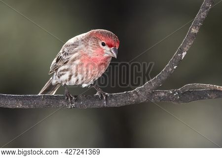 House Finch Perched Delicately On A Slender Branch
