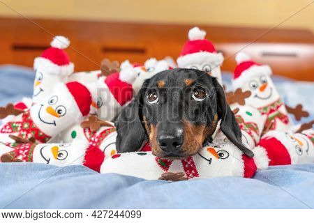 Portrait Of Cute Puppy Lying In A Pile Of Toys In The Shape Of Snowmen And Looking Up. Greedy Pet Ha