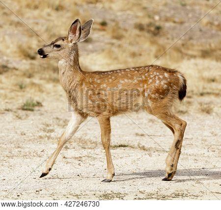 White-spotted Black-tailed Deer Fawn Profile. Quail Hollow County Park, Santa Cruz County, Californi