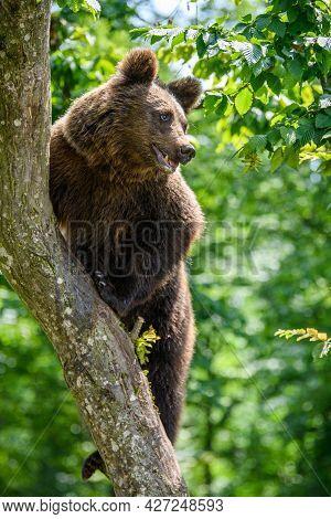 Wild Brown Bear (ursus Arctos) On Tree In The Summer Forest. Wildlife Scene