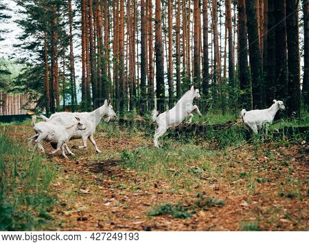 Goats Graze In The Forest Among The Trees. A White Goat Jumps Over A Ditch.
