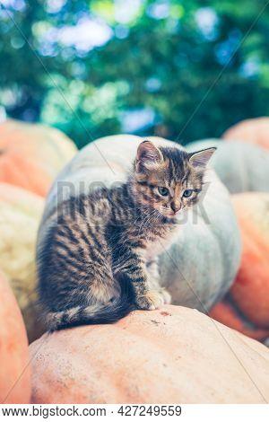 Cute Gray Kitten Sitting On A Pile Of Pumpkins.