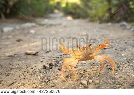 Land crab in defensive position close-up
