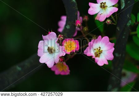 Delicate,beautiful, Pale Pink Rosehip Flowers With Large Yellow Buds Bloomed In The Garden. Flowerin